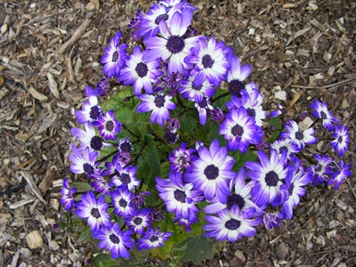 Cineraria - a splash of garden colour!