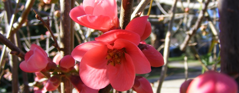 The Flowering Quince