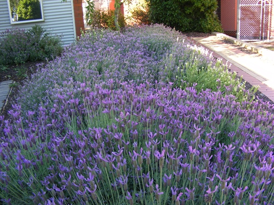 Lavender - rewarding and easy to grow!